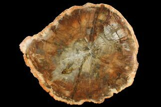"11.9"" Top Quality Petrified Wood (Araucaria) Round - Madagascar  For Sale, #172022"