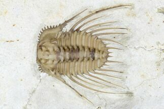 "Buy 1.1"" Kettneraspis Trilobite - Black Cat Mountain, Oklahoma - #170281"