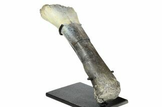 "7.5"" Fossil Phytosaur Tibia on Metal Stand - Arizona For Sale, #173483"