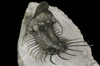 "2.7"" New Trilobite Species (Affinities to Quadrops) For Sale, #174203"
