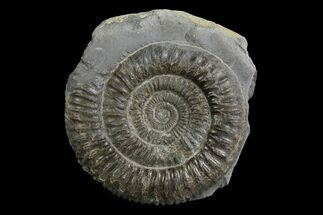 "Buy 2.3"" Ammonite (Dactylioceras) Fossil - England - #174262"