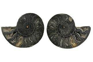 Cleoniceras - Fossils For Sale - #165660