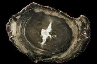 "Buy 15.5"" Triassic Petrified Wood (Araucaria) Round - Utah - #174937"