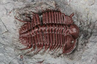 ".95"" Rare, Red Cyphaspides Trilobite - Hamar Laghdad, Morocco For Sale, #175064"