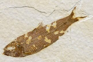 Knightia eocaena  - Fossils For Sale - #174648