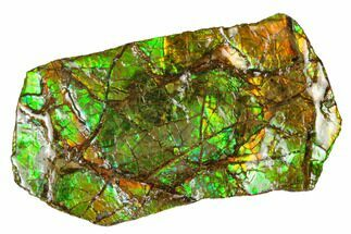 "3.7"" Iridescent Ammolite (Fossil Ammonite Shell) - Alberta, Canada For Sale, #175217"