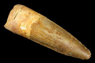 "1.71"" Spinosaurus Tooth - Real Dinosaur Tooth For Sale, #176615"