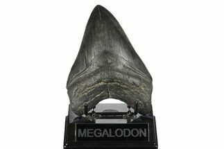Carcharocles megalodon - Fossils For Sale - #170328