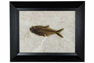 "Buy 7.1"" Framed Fossil Fish (Diplomystus) - Wyoming - #177304"