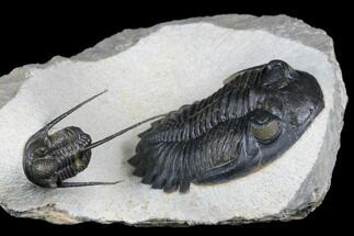"2.2"" Detailed Hollardops Trilobite With Cyphaspis - Ofaten, Morocco For Sale, #177341"