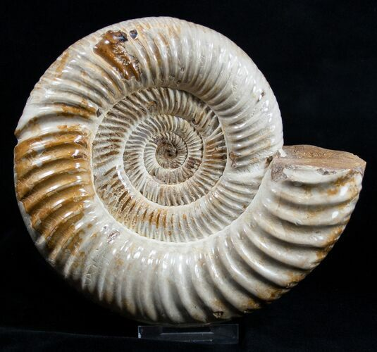 Large 8 Inch Ammonite - Great Display