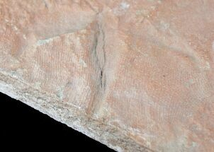 Rare Fossil Reptile Skin Impression - Green River Formation For Sale, #12263