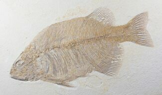 "Large, 14.5"" Phareodus Fish Fossil - Wyoming For Sale, #12656"
