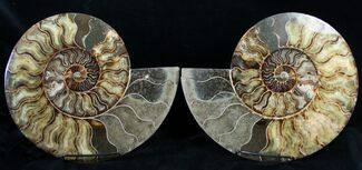 "Stunning 11.2"" Wide Agatized Ammonite Pair For Sale, #14915"