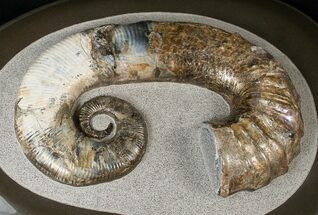 "Stunning 8"" Russian Heteromorph Ammonite For Sale, #15584"