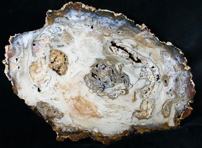 Large Hubbard Basin Petrified Wood Slab - 16x10""