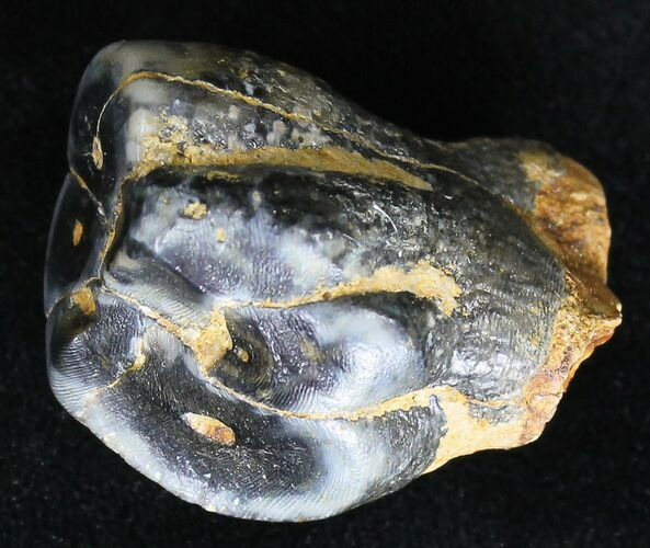Baby Desmostylus Molar (Hippo Like Animal) - California