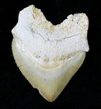 Buy Large Squalicorax (Crow Shark) Fossil Tooth - #19273