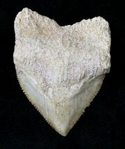 Buy Large Squalicorax (Crow Shark) Fossil Tooth - #19279