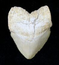 Buy Large Squalicorax (Crow Shark) Fossil Tooth - #19285
