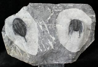Mucronaspis & Selenopeltis Trilobites - Reduced Price For Sale, #19808