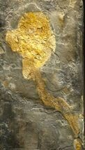 "Rare Placoderm (Cowralepis) Fossil - 6"" (Reduced Price) For Sale, #6536"