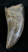 "Large 2.49"" Tyrannosaur Tooth  - Montana For Sale, #21350"