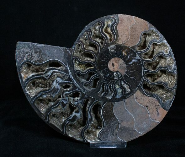 Amazing Black Ammonite With Crystals - 7 Inches Wide