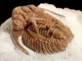 What is a Trilobite?