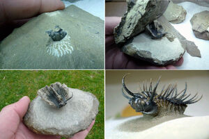 Trilobite Preparation Sequence - Spiny Koneprusia