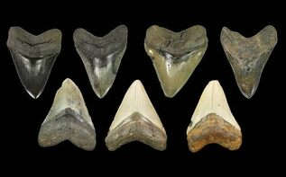 Why Do Fossils Come In So Many Colors? For Sale