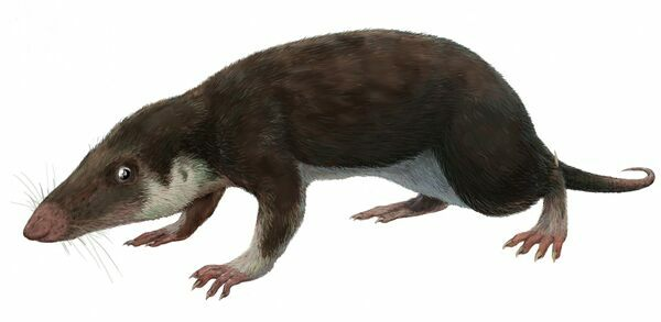Artists reconstruction of Morganucodon watsoni.  By Michael B. H  Creative Commons License