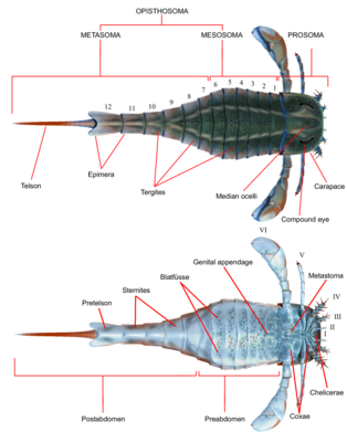 "Eurypterus anatomy.  Image by ""Obsidian Soul"" Creative Commons License"