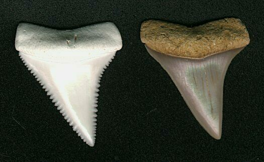 Great White vs. Broad-Toothed Mako tooth.