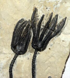 A fossil of a typical crinoid, showing (from bottom to top) the stem, calyx, and arms with cirri