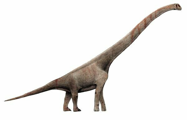 An artists reconstruction of Paluxysaurus.  By Levi bernardo . Creative Commons License