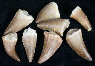 Bulk Fossil Mosasaur Teeth - Single Specimen