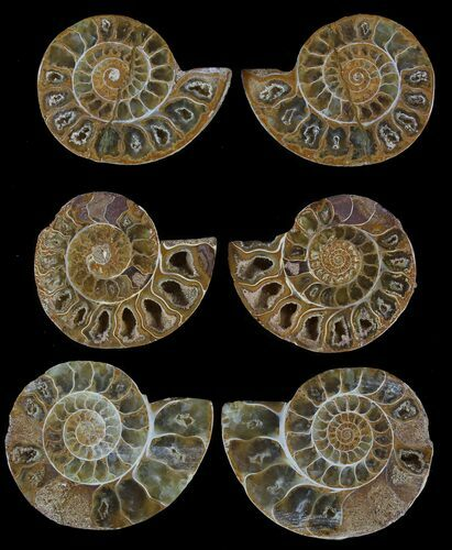 "1.5"" Jurassic Cut/Polished Ammonite Pairs - 25 Pairs - Photo 1"