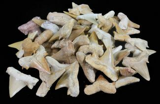 "3/4 to 1"" Fossil Shark (Serratolamna) Teeth - 25 Pack"