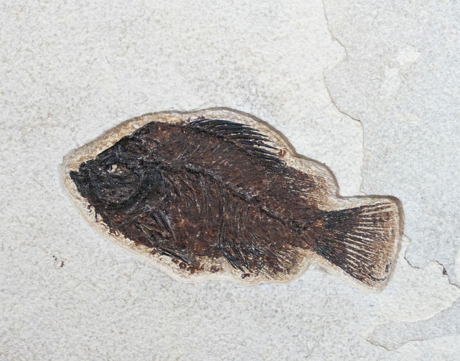Prepare your own fossil fish kit priscacara for sale for Fish fossils for sale