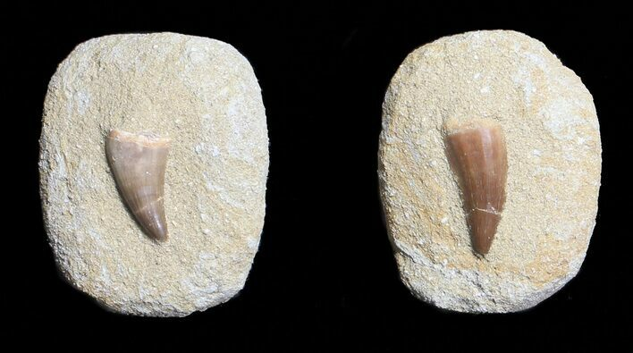"1"" Fossil Mosasaur Teeth In Rock - Khourigba, Morocco - Photo 1"