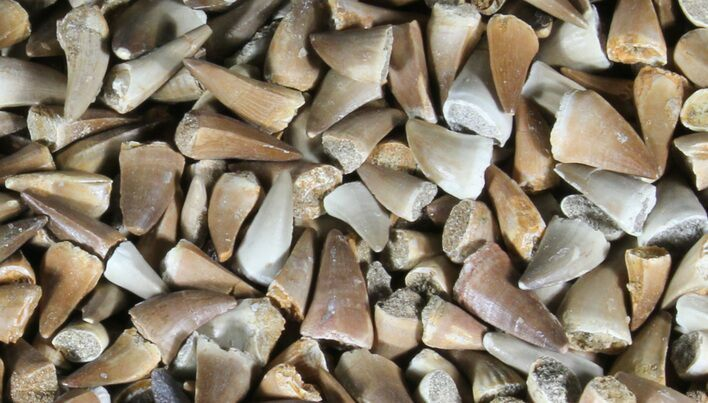 Wholesale Lot: Small Fossil Mosasaur Teeth - 1,000 Pieces - Photo 1