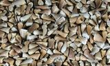 Wholesale Lot: Small Fossil Mosasaur Teeth - 1,000 Pieces - Photo 3