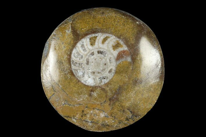 "Polished Fossil Goniatite ""Buttons"" - Photo 1"