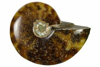 "1 3/4 - 2 1/4"" Polished Ammonite Fossils - Madagascar"