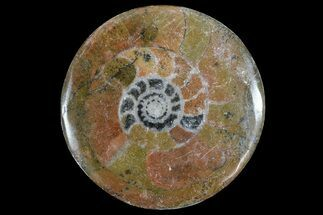 "2-3"" Polished, Fossil Goniatite ""Button"""
