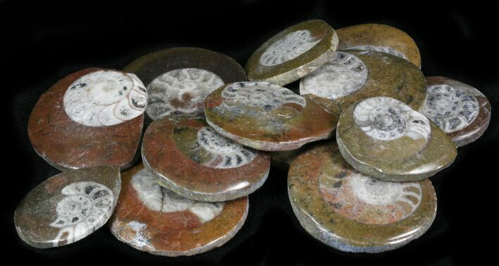 "Bulk Polished Fossil Goniatite ""Button"" - 25 Pack - Photo 1"