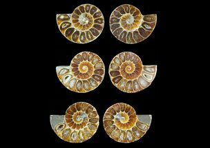 "1.25 to 1.5"" Cut, Agatized Ammonite Fossils - 5 Pairs"