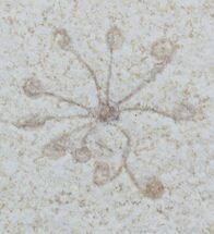 Floating Crinoid (Saccocoma) - Solnhofen Limestone For Sale, #22451