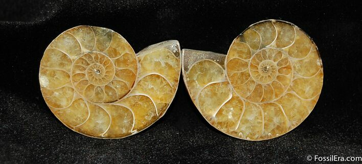 Small 1.3 Inch Desmoceras Ammonite Pair